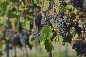 syndicat des vins du haut poitou vins rouges blancs rosés producteurs vignes